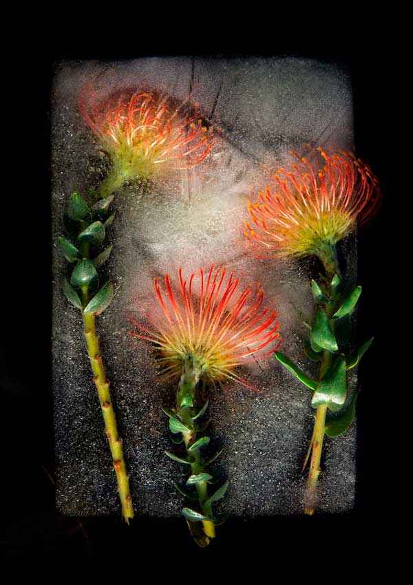 گلهایی یخ زده از آفریقای جنوبی اثر بروس بوید و تاریین اسمیت Bruce Boyd and Tharien Smith